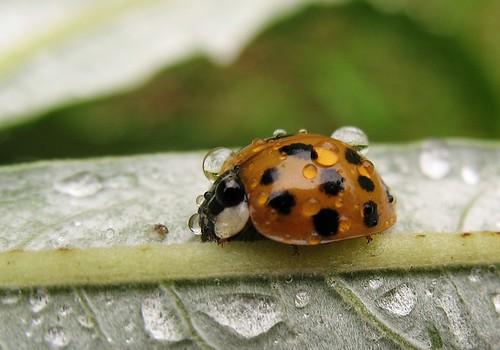 Harlequin ladybird (Harmonia axyridis succinea) - start of the local  invasion