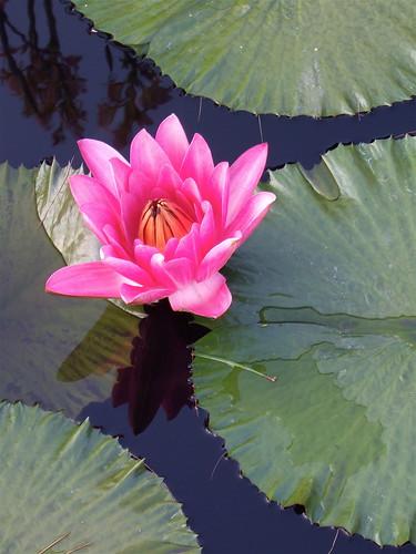 pink_lotus