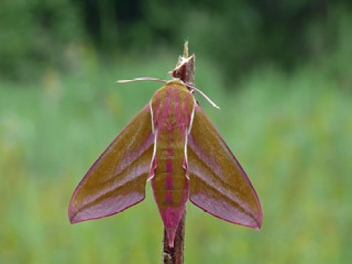 The Elephant Hawk-moth