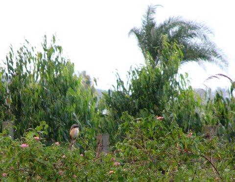 long-tailed shrike bg forest area 290907