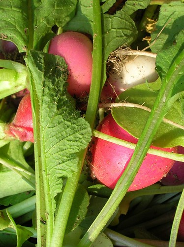 Radishes Just Picked