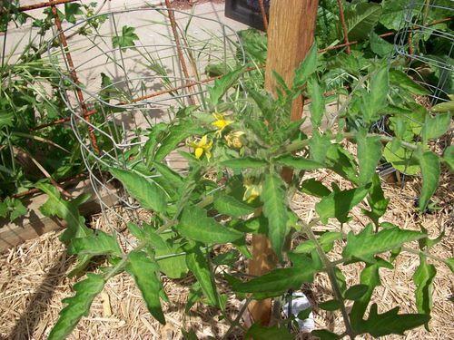 Flowering Tomatoes