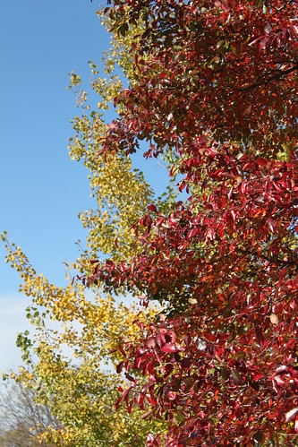 UW Arboretum - Blue Sky, Yellow Aspen, Red Tupelo