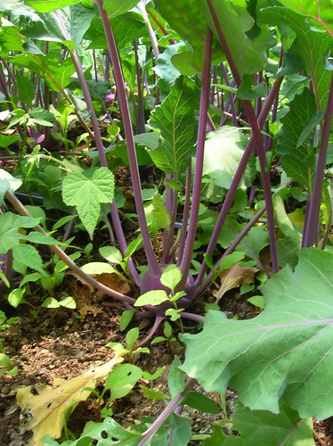 Kohlrabi Growing in the Field