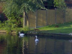 Foxes and swans