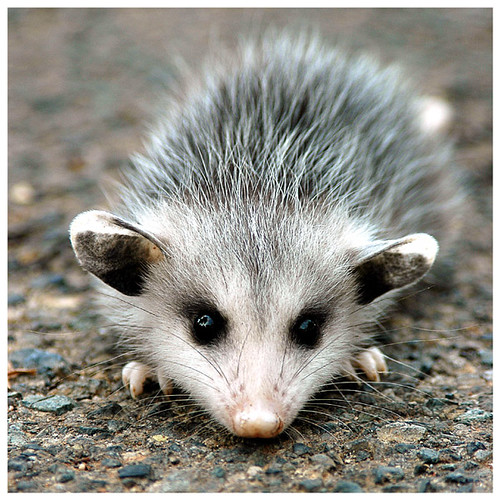More baby possums! – Scribo, Ergo Sum
