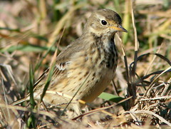 American Pipit 4-20101102