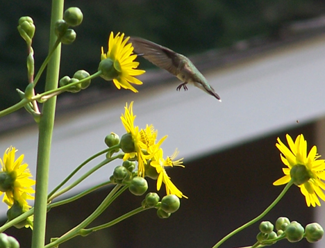 Hummingbird & Sunflowers 3
