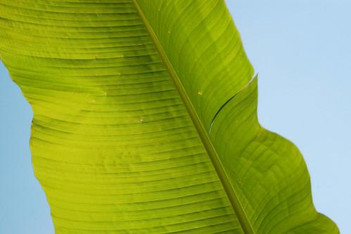 Large leaf.