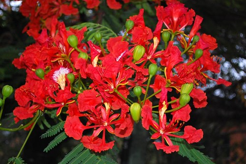 Delonix regia (Flame of the forest)