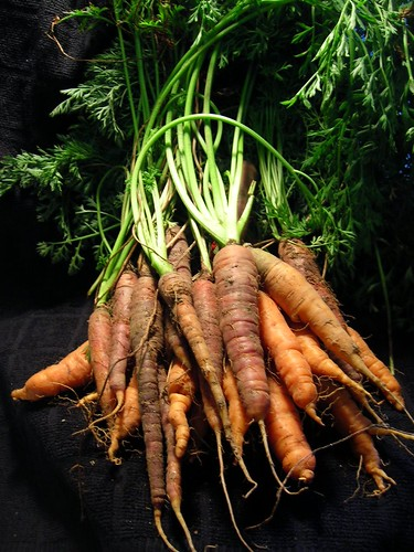Carrots fresh from the field