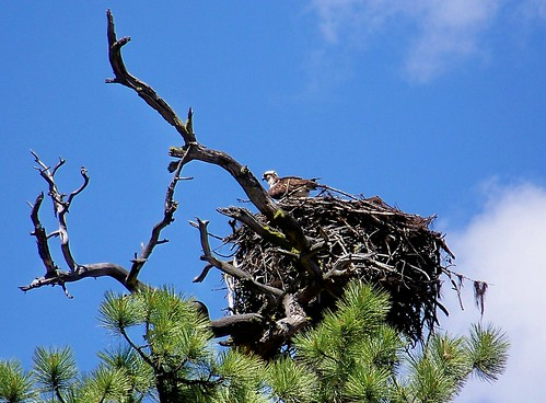 Osprey and nest