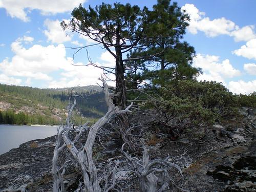 Tree at Lake Eleanor