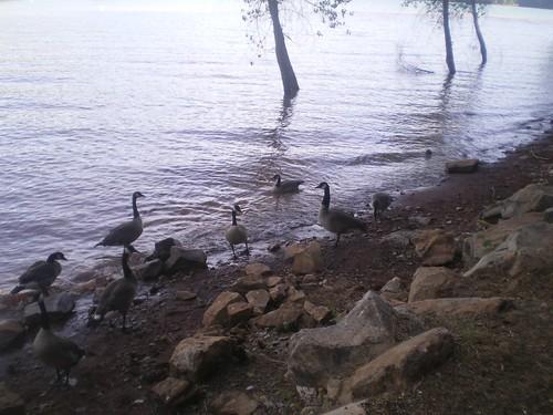 Geese, Jenkinson Lake