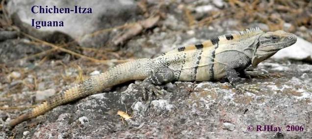 Chichen-Itza Iguana