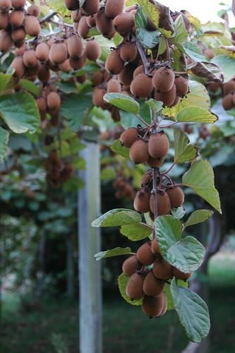 kiwi trellace