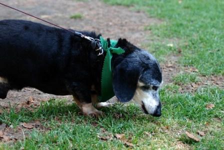 Jack, an older Dachshund