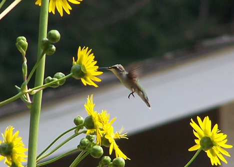 Hummingbird & Sunflowers 1