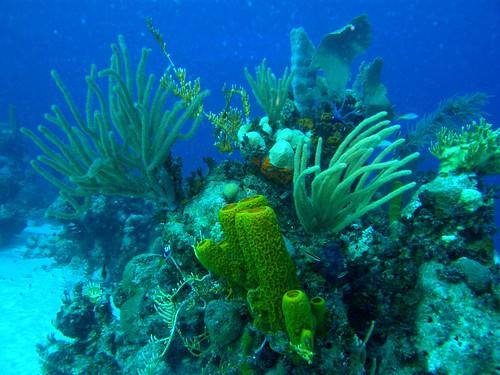 Cabezo coralino con gorgonias y esponjas por copepodo.