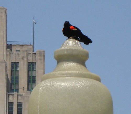red-winged blackbird, montreal, 2007