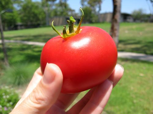 Goose Creek Tomato