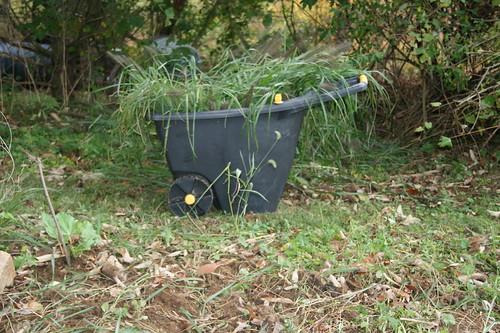 Dug up Ornamental grass