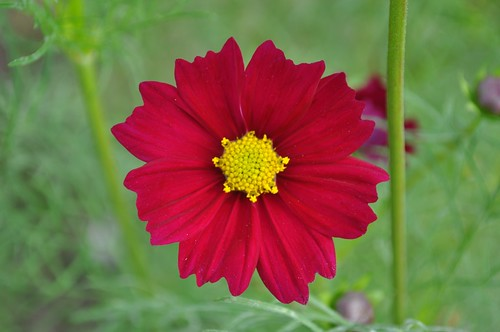 Red Cosmos Flower