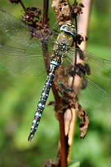 Migrant Hawker (Aesna mixta)