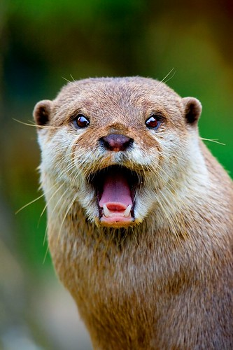 An otter in close-up with its mouth wide open