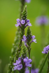 Blue Vervain with Goldenrod Bokeh