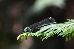 新治市民の森のカワトンボ(Dragonfly at Niiharu Community Woods, Japan)