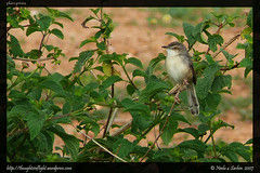 PlainPrinia