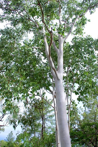 Eucalyptus platyphylla (Poplar gum)