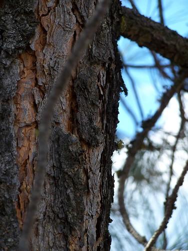 pondersa pine bark