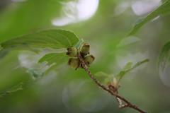 四季の森公園のマンサク(Shikinomori Park, Japan)