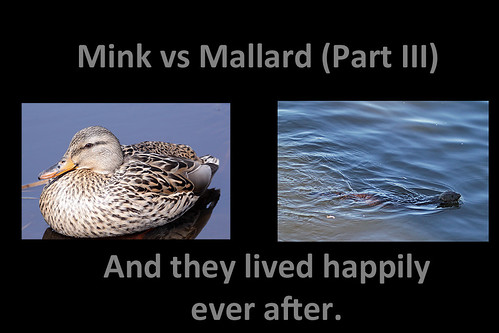 Mink vs Mallard part III