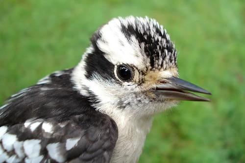 Juv Downy Woodpecker