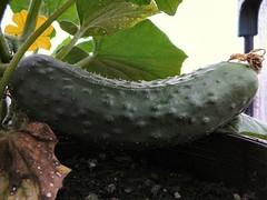 Cucumber 004
