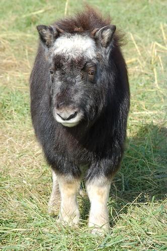 Baby musk ox from Alaskana @Flickr