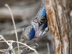 Western Fence Lizard, Redmond