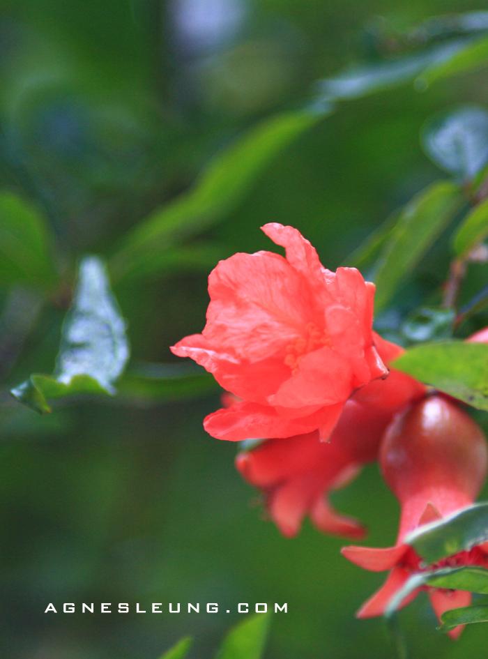 pomegranate3