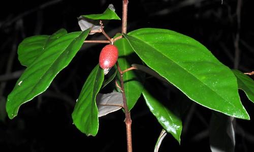 Elaeagnus triflora