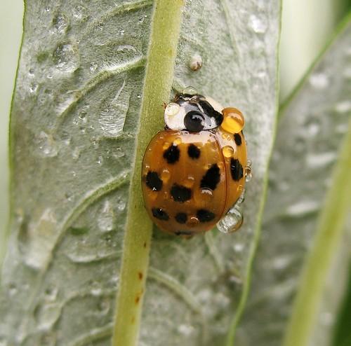 Harlequin ladybird (Harmonia axyridis succinea) invades the neighbourhood