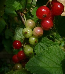 currants ripening