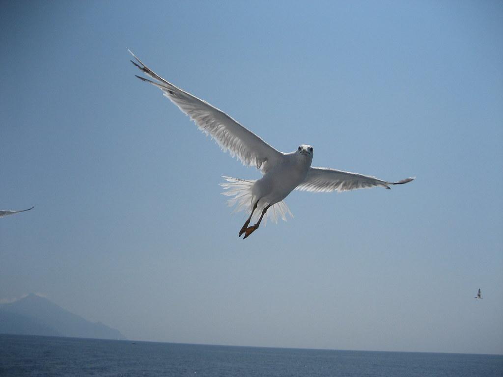 Seagull at Mount Athos