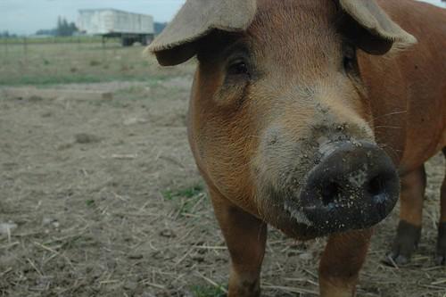 i (heart) pigs