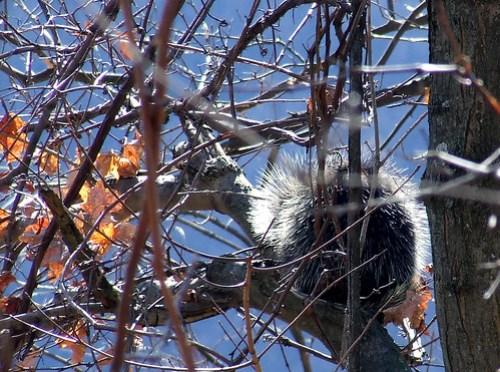 Bell Gap porcupine