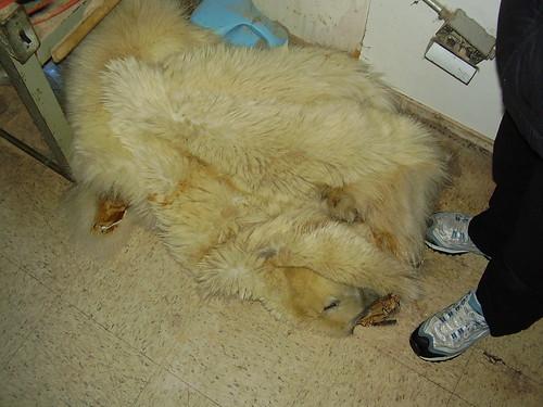 Shishmaref Tannery- Polar Bear Skins