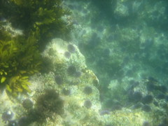 Sea Urchins in Abundance in the Channel Islands