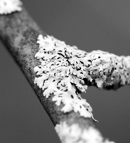 black and white lichen